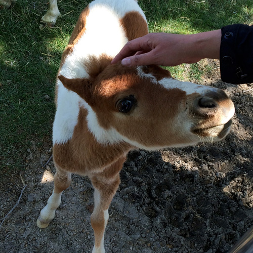 Beware these dangerously cute mini horses at Quicksilver Ranch